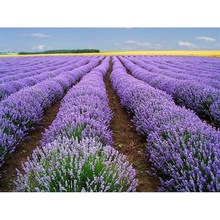 Loss Promotion!!Flower Seeds 2017 Hot Sale 20 Pcs Beautiful Lavender Herb Seed Diy Home Garden Plants Decorative Drop(China)