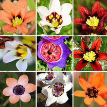 Hot Selling 15 Color Available Wand Flower Seeds Balcony Pot Sparaxis Flowers Seeds Patio Blue Pink White Orange Rose 100PCS
