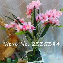 Office Desk freesia Flowers, freesia flower seeds, Indoor Pot Flowers Orchids,Floral quiet home garden plant 100 pcs /bag