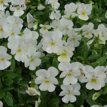 HUA XIAN ZI 50 Seed/Bag Viola Tricolor Flower Seeds Pansy White Seed Easy To Plant Bonsai Potted DIY Home Garden