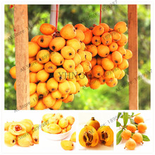 Widely Cultivated Eriobotrya Japonica Seeds 5pcs, Large Evergreen Tree Chinese Loquat Fruit Seeds(China)