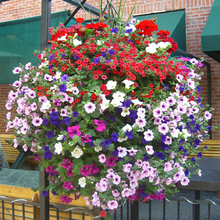 50 pieces Petunia Seeds Multicolor Petunia Hybrida Garden Home Bonsai Balcony Flower Morning Glory Seeds