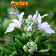 20 seeds/pack imported edible herb rosemary seeds JM-001 seed beauty, bathing, cooking