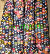 20 pcs Rainbow Corn seeds Cherokee Heirloom Corn Seeds Rare Open Pollinated Non GMO Original Strain Naturally Grown