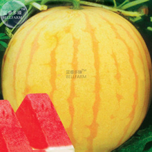 BELLFARM Heirloom Yellow Skin Red Seedless Watermelon Seeds, Professional Pack, 5 Seeds, 13% Sugar Sweet Juicy E3412