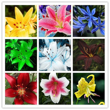 Mixing Different Varieties 120PCS Lily Seeds Cheap Perfume Lily Seeds Yellow White Red Pink Purple Lily Flower Garden Plant