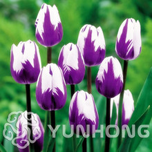 5 pcs / lot Mini Purple Tulip Bulb Bulb Root Flower Balcony Potted Perennial Flower It is a bulb (not a tulip seed)