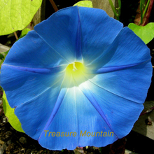 1 Professional Pack, 50 seeds / pack, Dark Blue Morning Glory Seeds Ipomoea Tricolor 'Heavenly Blue' Very Easy to Grow #NF221