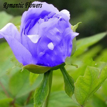 10 Particle/bag Blue Peony Flower Seeds Rare Paeonia Potted Home Garden Plant ,New Harvest Real Seeds, Free Shipping