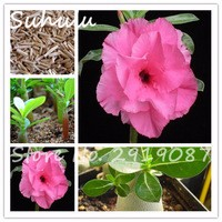 Beautiful-Pink-Desert-Rose-Seeds-pattern-on-100-of-the-true-seed-of-white-petals-bonsai.jpg_200x200