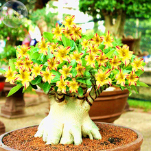 BELLFARM Yellow Adenium Red Stripe Desert Rose, 2 Seeds, bonsai short single petals compact flowers E3531