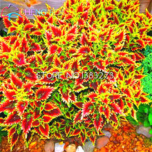 100pcs Coleus Seeds Bonsai Plants Perfect Color Leaf For Home & Garden Decoration Mini Plant Tree Pot Grass Seed 2016 Sementes