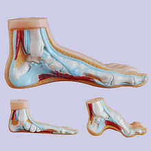 Normal Human Foot Platypodia Bow Foot Anatomy Model Muscle Vascular Teaching 1:1