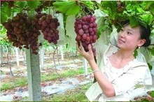 Sweet Red Grape Seeds Advanced Fruit Seed Natural Growth Grape Delicious Gardening Fruit Plants 10 seeds(China)