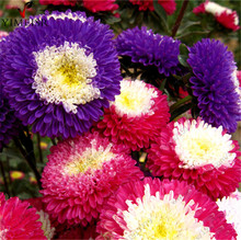 Aster Seeds Pomponna (Callistephus chinensis) Rare bonsai flower seeds garden full of bright summer big flowers100seeds/bag