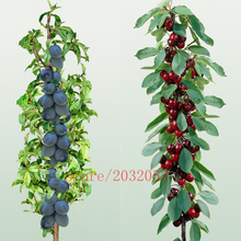 10pcs/bag mini cherry seeds,miniature cherry,rare Organic heirloom vegetable fruit seeds,miniature garden,plant for home garden(China)