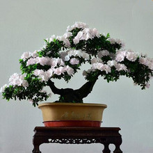 Rare Bonsai 13 Varieties Azalea Seeds(50 seeds) DIY Home& Garden Plants Looks Like Sakura Japanese Cherry Blooms Flower Seeds