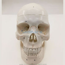 Numbered Human Skull Model Natural Life Size Bone Suture Clear Matt PVC Teaching Resources