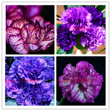 2015 Rare Carnations Seeds Flowers Seeds 200pcs/pack Dianthus caryophyllus Flowers Seeds for home garden planting mom gift(China)