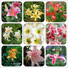 Heirloom Lilium Lily Flower Fragrant Perennial Flower Cheap Optimized 50 Seeds