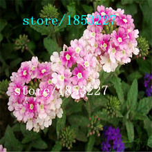 Original Pack 100 Seeds / Pack, Red hydrangea flowers Verbena, verbena seeds red hydrangea seeds, flower seeds, grass plum color