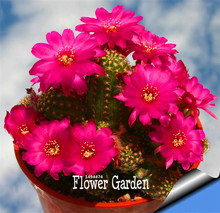 Sale!10Seed/Bag cactus Rebutia variety flowering color cacti rare cactus seed office mini plant succulent,#SUJE4P