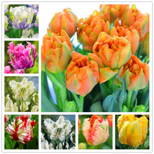 100pcs Tulip Seeds White Blue Purple mixed color Flower seeds bonsai flower seeds colorful plants for home garden(China)