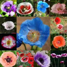 BELLFARM 100+ Rare Heirloom Corn Poppy Flowers Seeds, beautiful annal herbs garden plants BD051H
