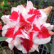 Heirloom 'Five Stars' Double Adenium Desert Rose Seeds, 2 Seeds, light pink and red petals E3518