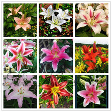 100 pcs / bag 24 colors lily seeds, cheap perfume lilies seeds, rare color flower Garden Plant - Mixing different varieties