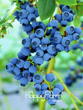 Big Promotion!A Pack 100 Pcs Blueberry Tree Seed Fruit Blueberry Seed Potted Bonsai Tree Seeds,#WURU4A
