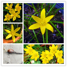 2Bulb Zephyranthes Candida (onion Orchid Bulb) Easy Planting, Balcony Fun Indoor Outdoo Flower Pots Plant(China)