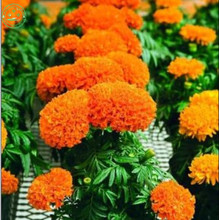 Flower Seeds Bonsai seeds substitutes Marigold Seeds - Antigua Orange - Great Border Flower Family garden Potted plant seeds B07(China)