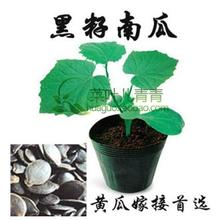 50pcs/lot Cucurbita ficifolia seeds Cucumber Rootstock, enhance disease resistance bonsai plant DIY home garden free shipping(China)