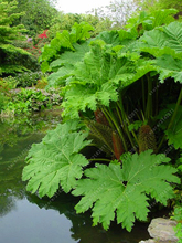 50 pcs/bag Gunnera manicata seeds, also called giant rhubarb seeds, grow in partial shade Huge leaves outdoor plant in garden(China)
