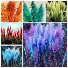 1000pcs/bag Colorful Pampas Seeds Rare Pampas Grass Seeds Ornamental Plant Cortaderia Selloana Seeds Garden Decoration DIY(China)
