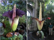 "5 seeds Corpse flower,the Titan arum is also known as the""Corpse flower""or""Corpse plant"" biggest flower in the world for garden(China)"