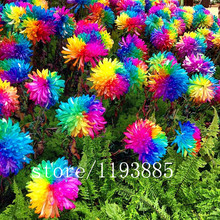 200pcs rainbow chrysanthemum seeds bonsai flower seeds potted plant for home garden