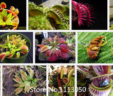 Promotion HOT Sale 300PCS Potted Insectivorous Plant flower Seeds Dionaea seeds Muscipula Giant Clip Venus Flytrap Seeds Novel S(China)