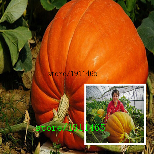 Тыква китайский фонарик выращивание 27