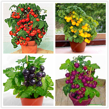200 pcs/bag bonsai tomato seeds, delicious cherry tomato seeds,Non-GMO seeds vegetables Edible food balcony potted garden plant(China)