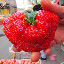 Exotic Seeds 500pcs Super Giant Red Strawberry Perfume Bonsai Strawberry Fruit, Edible Strawberry Seeds For Home Garden Plant