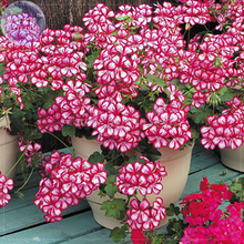 BELLFARM Geranium 'Dragon Beads' Dark Red White Flower Seeds, Professional Pack, 10 Seeds, bonsai single compact petals  E4221