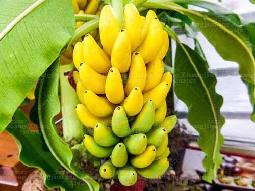 100pcs-bag-Potted-banana-seeds-bonsai-Organic-fruit-seeds-Healthy-and-nutritious-food-fruits-dwarf-banana_