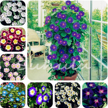 Cheap 100 Pcs/Bag Climbing Morning Glory Seeds,Rare Petunia Seeds,Bonsai Flower Seeds,Plant for Home Garden DIY Potted Plants