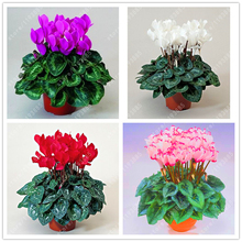20 pcs/bag cyclamen flower, beautiful bonsai flower seeds for home garden plant pot Natural growth cyclamen seeds kids love it