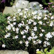 20pcs Maiden Pink (Dianthus Deltoides White), dwarf fragrant plant for many years, the United States imports