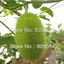 Hot selling 30pcs Small cute multi cucumber bonsai seeds sowed the four seasons DIY home garden free shipping(China)