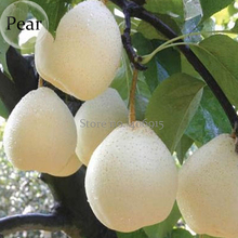 Pear Chinese White Sand Pear, 5 Seeds, juicy fleshy sweet and delicious green fruits E3652
