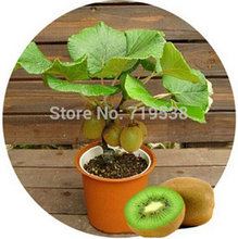 50pcs Kiwi fruit seeds,Potted plants,MIN tree Nutrition is rich, beautiful,Bonsai,Vegetable melon seeds(China)